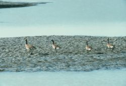 Canada Geese Photo
