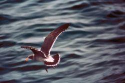 Immature California Gull Photo