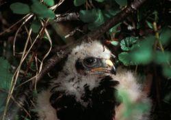 Hawk Chick in Nest Photo