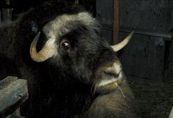 Bull Musk Ox Photo