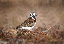 Ruddy Turnstone Photo