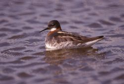 Red-necked Phalarope Photo