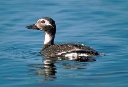 Long-tailed Duck Female on Water Photo