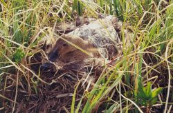 Canvasback Female on Nest Photo