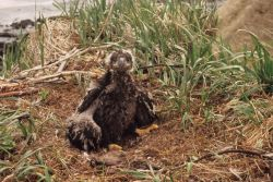 Bald Eaglet in Nest Photo
