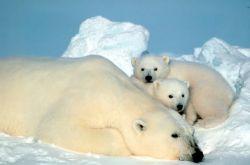 Polar Bear and Cubs Photo