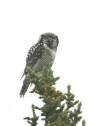 Northern Hawk Owl Photo