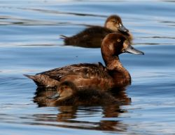 Greater Scaup with Young Photo