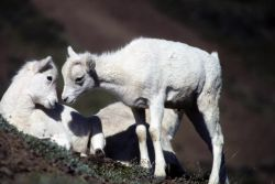 Dall Sheep Lambs Photo