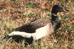 Western High Arctic Brant Photo