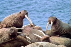 Walrus Photo