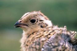 Young Ptarmigan Photo