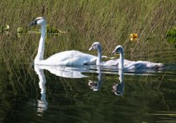 Trumpeter Swan Brood Photo