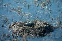 Pacific Loon or Arctic Loon Nest Photo