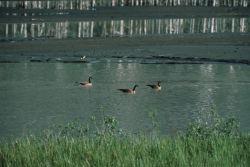 Canada Goose Trio Photo