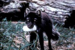 Arctic Fox with Least Auklet on St. Matthew Island Photo