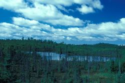 Low Growing Spruce Forest and Lake Photo
