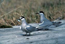 Aleutian Terns, Adak Photo