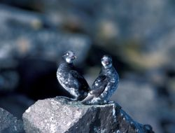 Least Auklets, St. Matthew Island, Alaska Photo
