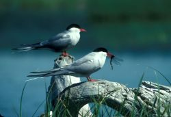Arctic Tern Pair, 1989 Photo