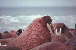 Walrus Herd at Cape Seniavin Photo