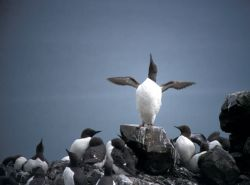 Common Murre 1986 Photo