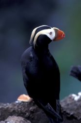 Tufted puffin Photo