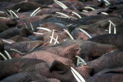 Walrus Herd Photo