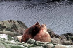Battling Steller's Sea Lions Photo