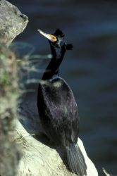 Red-faced Cormorant Photo