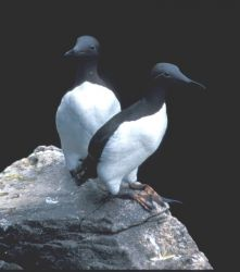 Common Murres, Hall Island July 1997 Photo