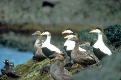 Common Eider Photo