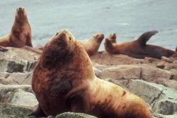 Steller Sea Lions Photo