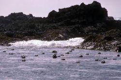 Harbor Seals at Haulout Photo