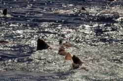 Steller Sea Lions in the Water Photo