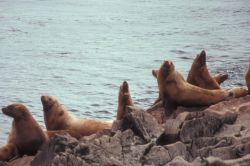 Steller Sea Lions at Haulout Photo