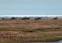 1002 Area: caribou and Beaufort Sea ice Photo