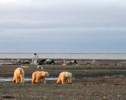 1002 Area: Three polar bears on the Beaufort Sea coast Photo