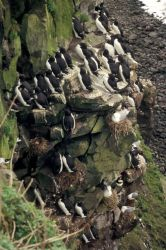 St. Paul Island seabird rookery Photo
