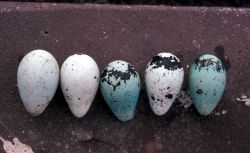 Murre eggs Photo