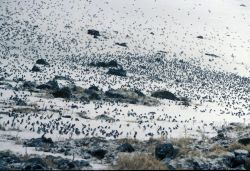 Least Auklets in snow, Ulakaia Ridge Photo