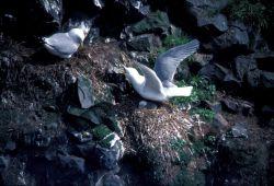 Red-legged Kittiwake defending nest Photo