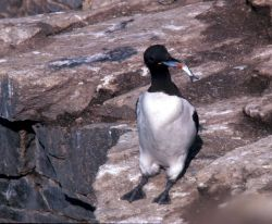 Common Murre, very thin, with fish Photo