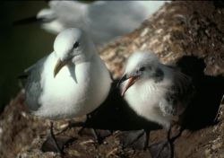 Black-legged Kittiwake with chick, Middleton Island Photo