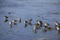 Dunlins at Shoreline Photo