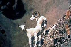 Dall Sheep Pair Photo