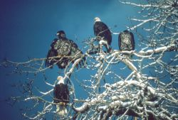 Bald Eagles Adult and Fledglings Photo
