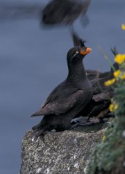 Crested Auklet, St. George Island Photo