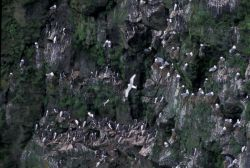 Murre and kittiwake nest, St George Island Photo
