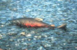 Salmon Silver Photo